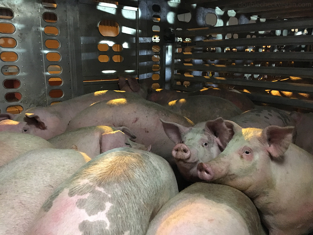 What's in Dodger Dogs? Pigs in a truck on the way to slaughterhouse.