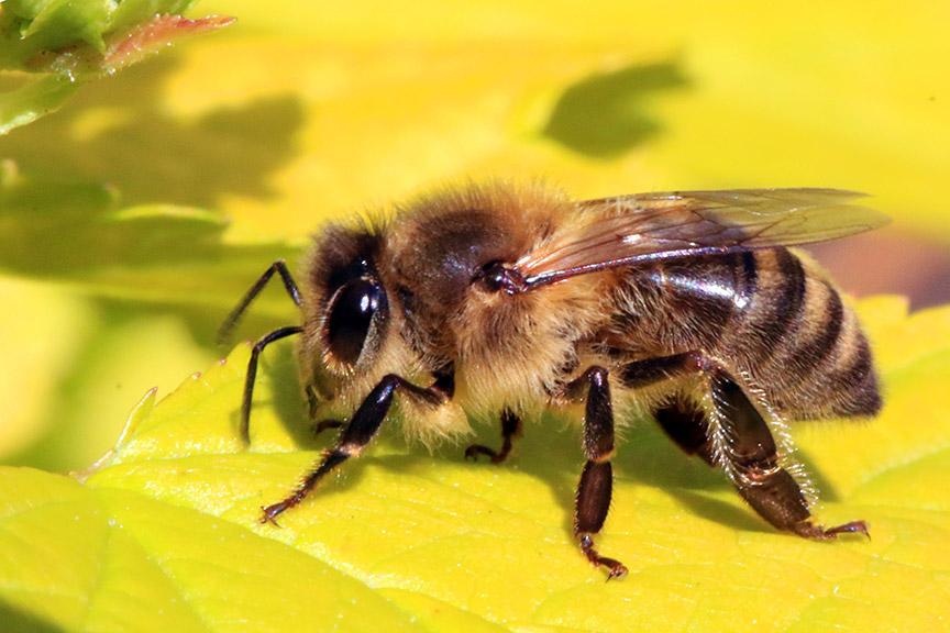 Is honey vegan? Honeybee.