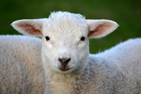lamb sheep lanolin not vegan liquid multivitamin
